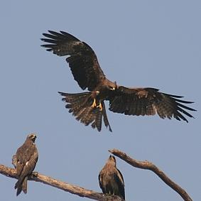 black kite 6